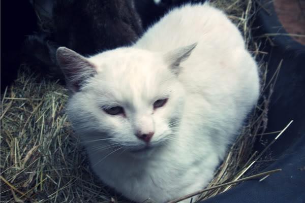 Alaska-cat