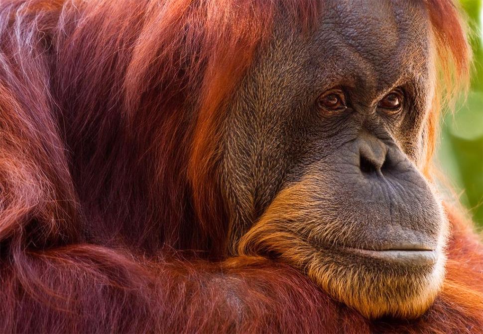 Helloitsvalentine_orangoutan