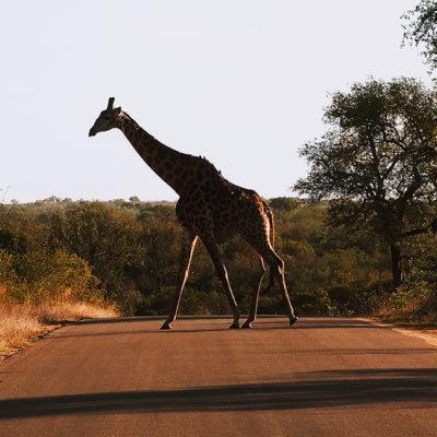L'Afrique du Sud, safari au Kruger Park